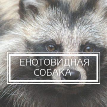 Видеорассказ «Енотовидная собака»